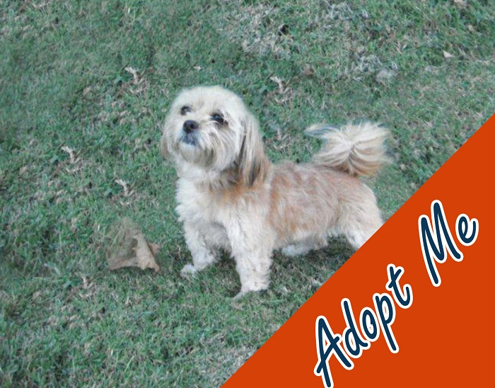 They call me Ritual, maybe it's because every day I stand tall looking out for you! I know one day soon you will come and rescue me. Until that day comes, I will stand here and wait for you. I am a 1 year old female tan Lhasa Apso mix. Ask for ID# A577870.