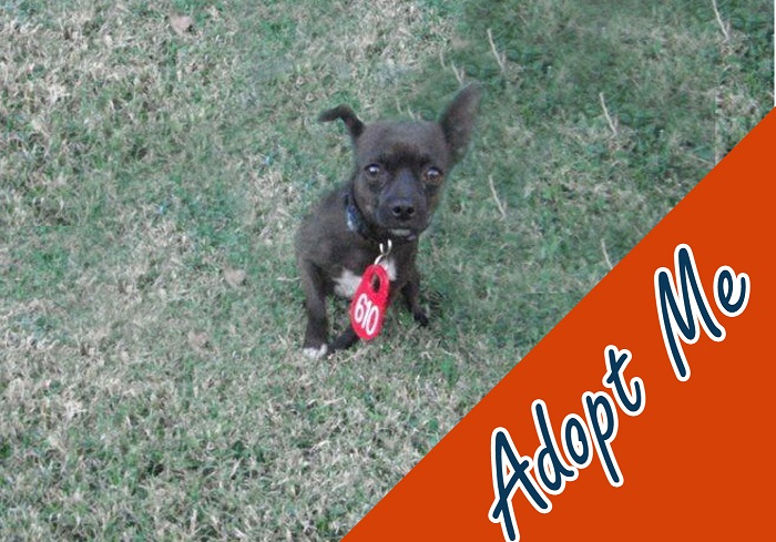 I may be small, but I am big on love and have plenty to give. My name is Samhain and I am an 18-month-old male chocolate Chihuhua mix. Adopt me and take me home; I promise to love you forever. My ID is A577976.