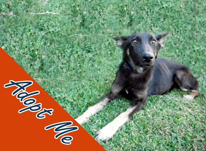 Anyone who looks into my big brown eyes will quickly become hypnotized with love. My name is Solstice and I am a 5-month-old female black and tan German Shepherd. I am available for adoption now. Just visit the Devore Animal Shelter and ask for ID# A577945.