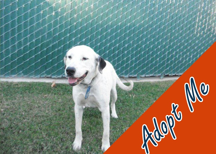I'm a fun 18-month-old female white Dalmatian mix they call VooDoo. I am looking for someone to take me in.  I would love to become a part of your home; just visit the Devore Animal Shelter and ask for ID# A578017.