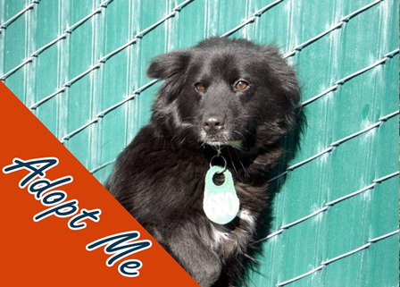 Noel shines as bright as the north star on a clear winter night.  She truly is a delight!  A 4 year-old, black and white Spaniel mix that will make any family complete.  Visit Noel at the Devore Animal Shelter and ask for ID# A582031.