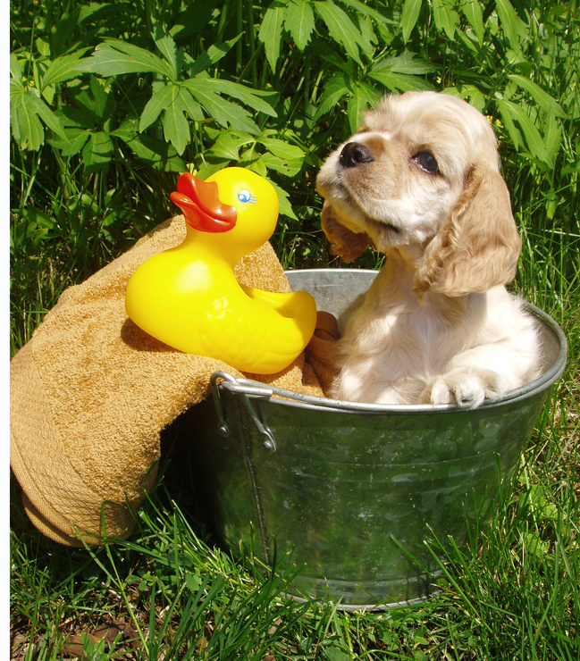spaniel puppy ready for a bath