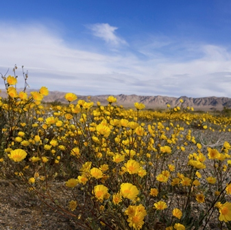 Joshua Tree Wildflowers